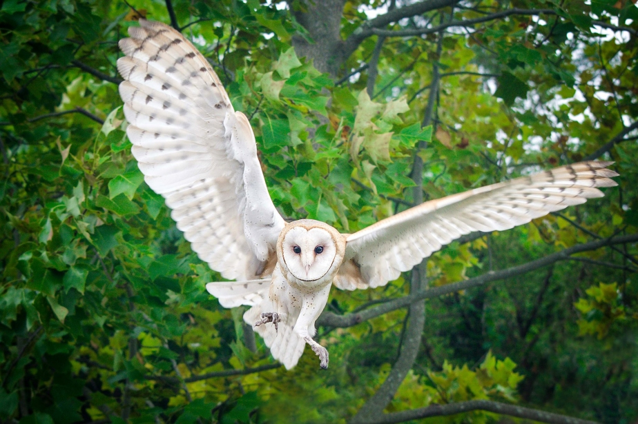 barn-owl-flight