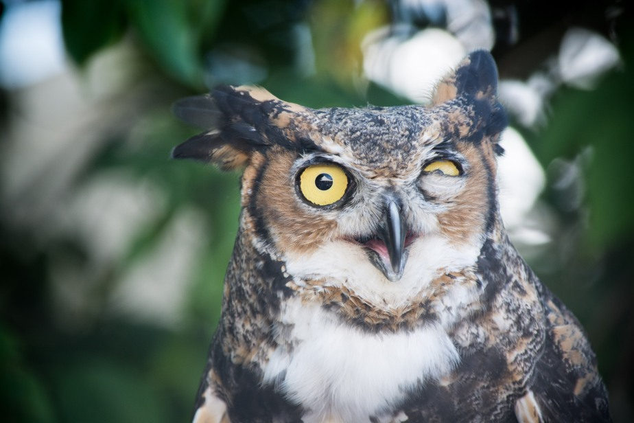 Great_Horned_Owl_nw-1-2